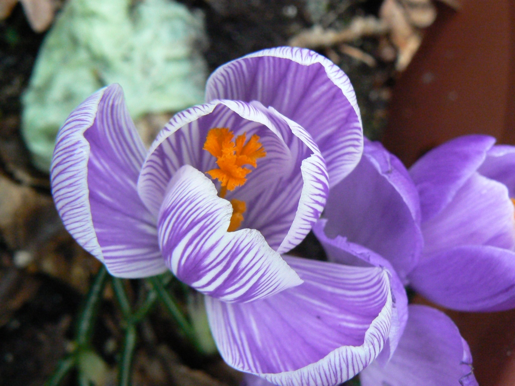 Closeup macro shot of purple and white crocus blossom with orange anthers